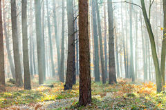 Sun rays through the fall forest Royalty Free Stock Images
