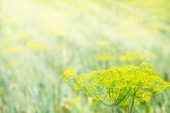 The sun rays fall on the inflorescence of dill. Royalty Free Stock Photography