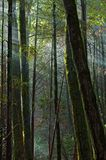 Sun rays fall into the mossy forest. Northern California stock photography