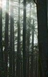 Sun rays fall into the redwood forest. Northern California stock photo