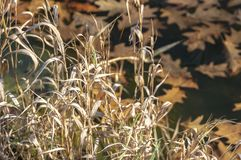 The sun rays fall on yellow dry grass on shore of pond. Blurred background with yellow oak leaves under ice. Magical theme of natu. Re. Selective focus stock photography
