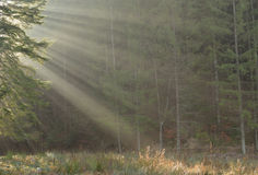 Morning light in fir forest Royalty Free Stock Images