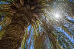 Sun Rays Flare Through a Tropical Palm Tree Royalty Free Stock Photography