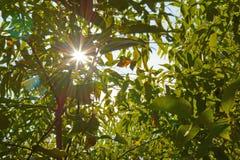 Sun rays through the foliage Stock Photos