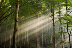 Sun rays in the forest Royalty Free Stock Photos