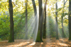 Sun rays in a forest. Sun rays behind trees in a forest Royalty Free Stock Photo