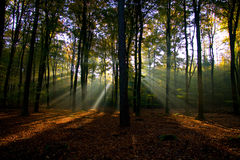 Sun rays in the forest. Royalty Free Stock Image