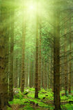 Sun rays in forest stock image