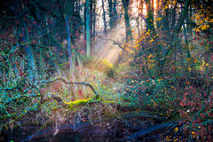 Sun rays in forest in autumn Royalty Free Stock Images