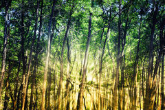 Sun rays in the forest Royalty Free Stock Images