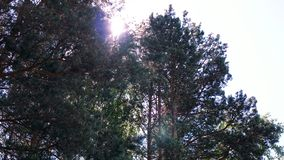 Sun rays in forest. Clip. Reflection of the first rays of the sun in a misty forest. Crowns of trees in spring forest by royalty free stock photo