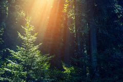Sun Rays in the Forest Royalty Free Stock Image