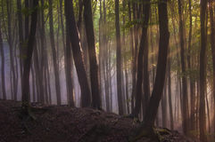 Sun rays in a forest with fog after rain Stock Photos