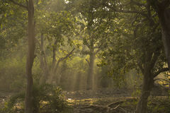 Morning Sun Rays and the Forest Royalty Free Stock Photo