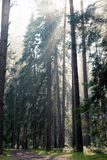 Sun rays. In the forest through the mist royalty free stock images