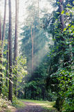Sun rays. In the forest through the mist Stock Image