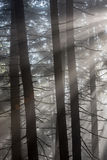 Sun Rays in the Forest. Sun rays pass through morning in the forest Stock Images