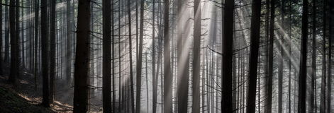 Sun Rays in the Forest. Royalty Free Stock Photo