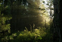 Sun rays in the forest Stock Photos