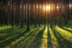 Sun rays in forest. Spring Sunset in the Forest. Slovakia Stock Photography