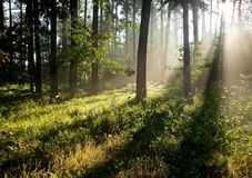 Sun rays in a forest Royalty Free Stock Image