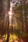 Sun rays through forest trees Stock Photos