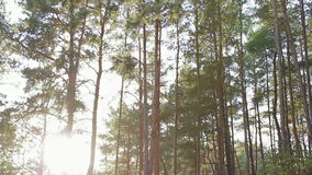 Sun rays through the forest trees stock footage
