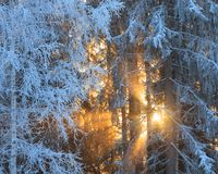 Sun rays through frosty trees Stock Photos