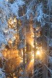 Sun rays through frosty trees Royalty Free Stock Photo
