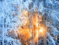 Sun rays through frosty trees. In winter forest Stock Photo