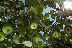Sun rays go through apple tree leafs Stock Image