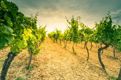 Sun rays in grape vine rows in fields Royalty Free Stock Photo