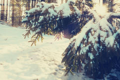 Sun rays illuminate snowy branches of fir trees Royalty Free Stock Photo