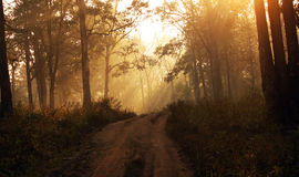 Sun rays inside a misty forest during dawn Royalty Free Stock Photos