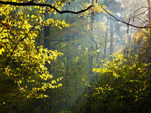 Sun rays through leafage in autumn. Forest Royalty Free Stock Images