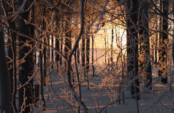 Sun rays through leafless trees. In winter Royalty Free Stock Photo