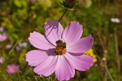 Insect collects nectar and pollen from flowers cosmos royalty free stock photos