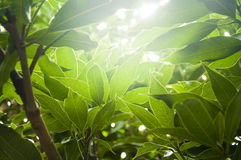 Sun-rays through leaves. Bright sunlight coming through green leaves Royalty Free Stock Photos