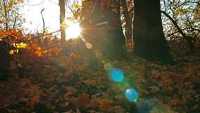 Autumn forest. sun rays through the leaves of the forest. stock video footage