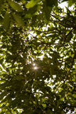Sun rays through leaves of the trees Royalty Free Stock Photos
