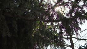 Sun rays light shines through pine apple tree and branches of forest. Beautiful background of sun lights and conifer