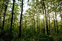 Sun rays lucidare nella foresta Immagini Stock