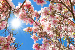 Sun rays on a magnolia tree Royalty Free Stock Images