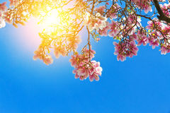 Sun rays on a magnolia tree. Pink magnolia tree on sunny spring day Stock Images