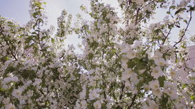Sun rays make their way through the branches of apple trees with white flowers. stock footage