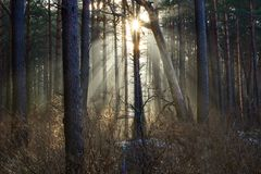 Sun rays through mist in forest Royalty Free Stock Photo