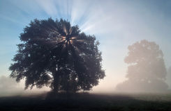 Sun rays in the misty morning. Sun rays illuminate the misty morning landscape through the branches of a tree stock photos
