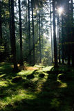 Sun rays in the morning forest Royalty Free Stock Image