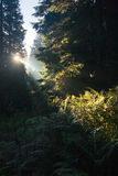 Sun rays in the morning forest Stock Images