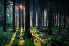 Sun rays in morning summer forest Royalty Free Stock Photos
